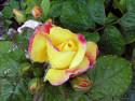Tapeta Kolekce růží 4