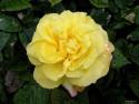 Tapeta Kolekce růží 5