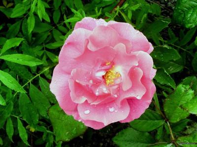 Tapeta: Kolekce růží 6