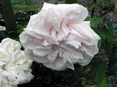 Tapeta: Kolekce růží 8