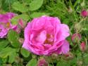 Tapeta Kolekce růží 9