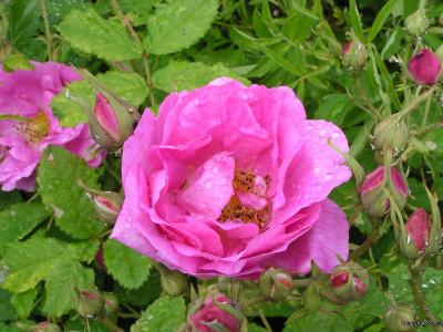 Tapeta: Kolekce růží 9