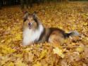 Tapeta kolie podzim