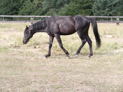 Tapeta: Koník ze Záhorá