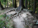 Tapeta Kořeny