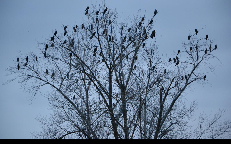 Tapeta kormorani