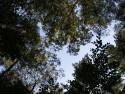 Tapeta Koruny stromů-Seč