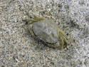 Tapeta krab v pisku