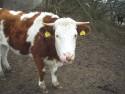 Tapeta Kráva