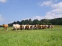 Tapeta Krávy