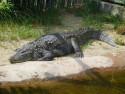 Tapeta Krokodýl