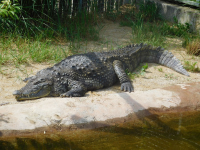 Tapeta: Krokodýl