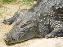 Tapeta Krokodýl 2