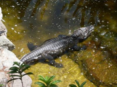 Tapeta: krokodýl GC 1