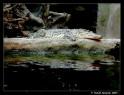Tapeta Krokodýl v ZOO Lešná