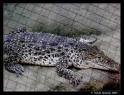 Tapeta Krokodýl-ZOO Lešná Zlín