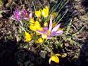 Tapeta Krokusy na jaře