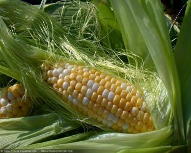 Tapeta: Kukuřice