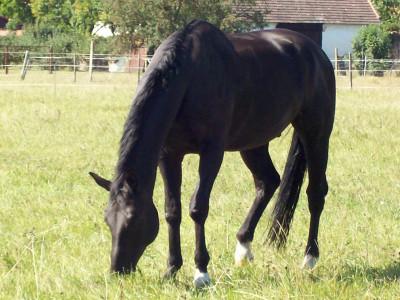 Tapeta: Kůň Ares