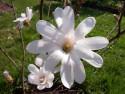 Tapeta Květ bílé magnolie