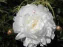 Tapeta Květ bílé pivoňky