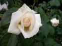 Tapeta Květ bílé růže