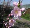 Tapeta Květ broskvoně