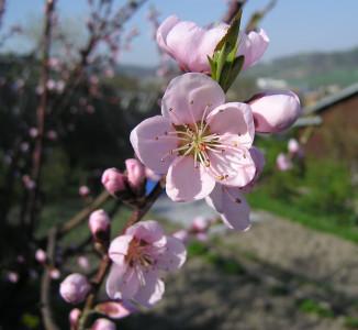 Tapeta: Květ broskvoně