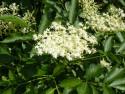 Tapeta Květ černého bezu