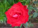 Tapeta Květ červené růže