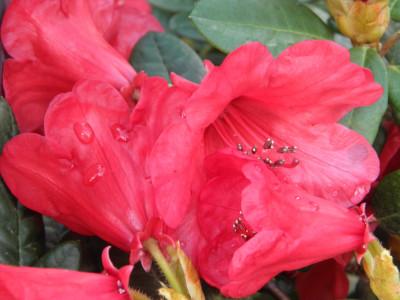 Tapeta: Květ červeného rhododendronu