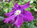 Tapeta Květ clematisu