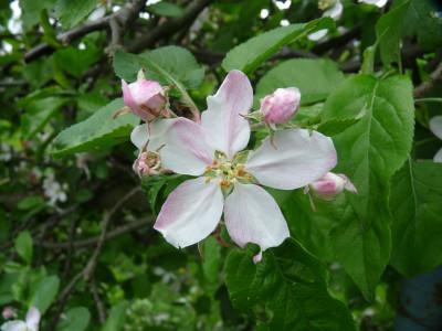 Tapeta: Květ jabloně