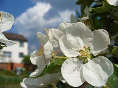 Tapeta: Květ jabloně na vesnici