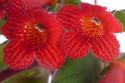 Tapeta Květ kohlerie