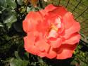 Tapeta Květ růže