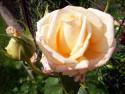Tapeta Květ růže béžové