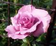 Tapeta Květ růže fialové