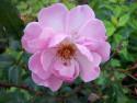 Tapeta Květ růže světlefialové