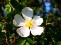 Tapeta Květ šípku