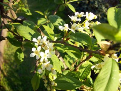 Tapeta: Květ střemchy