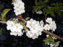 Tapeta Květ Třešně