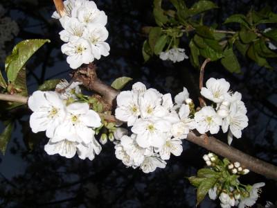 Tapeta: Květ Třešně