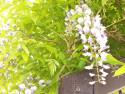 Tapeta Květ wistárie