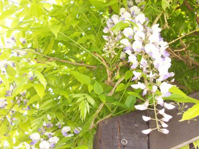 Tapeta: Květ wistárie
