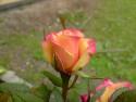 Tapeta Kvete ruze