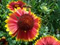 Tapeta Květina s včelkou