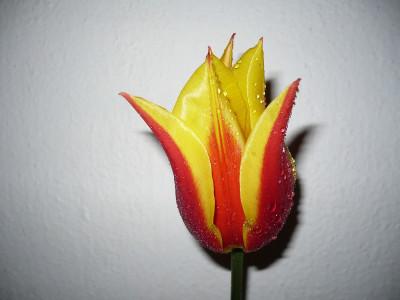 Tapeta: květina tulipán