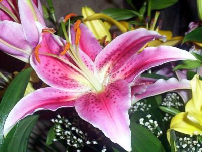 Tapeta: Květina Lilie