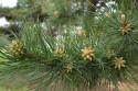 Tapeta Kvetoucí černá borovice